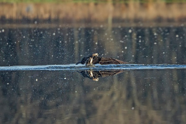 Osprey_Fishing_MG_1127