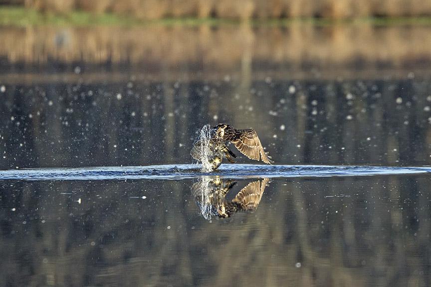 Osprey_Fishing_MG_1128