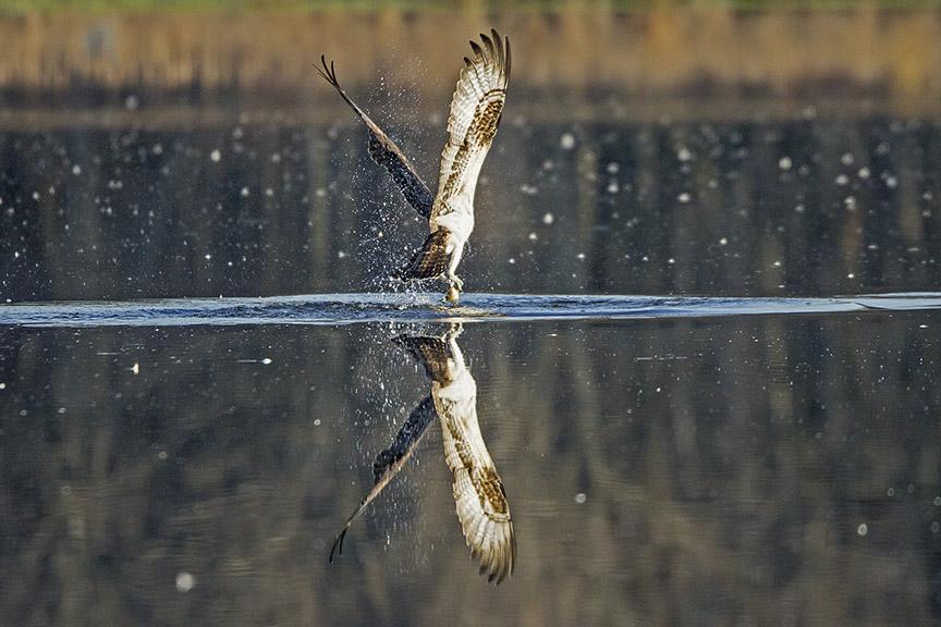 Osprey_Fishing_MG_1129