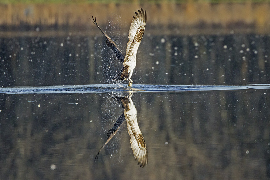 Osprey_Fishing_MG_1129