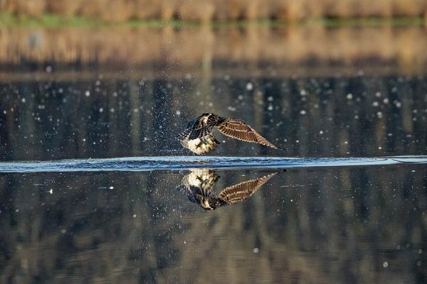 Osprey_Fishing_MG_1130