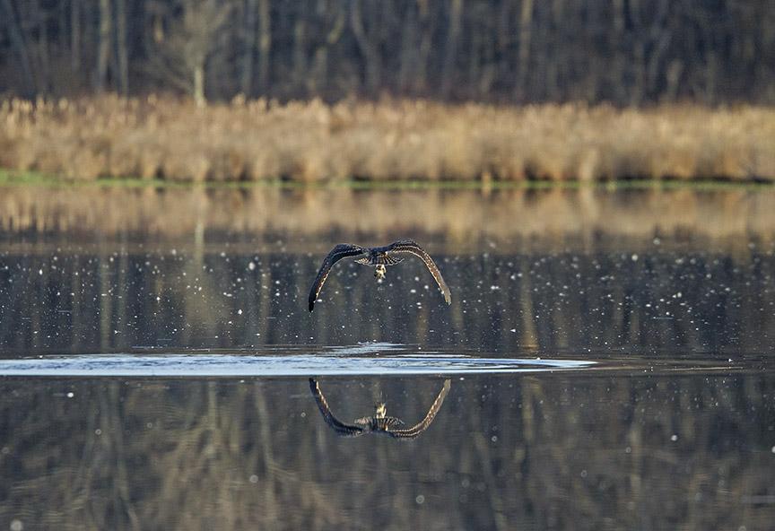 Osprey_Fishing_MG_1131