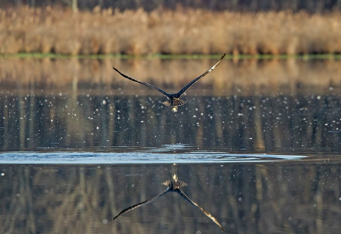Osprey_Fishing_MG_1132