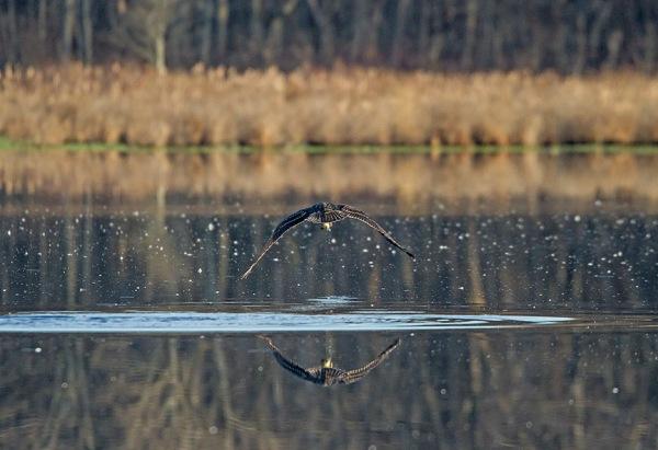 Osprey_Fishing_MG_1133