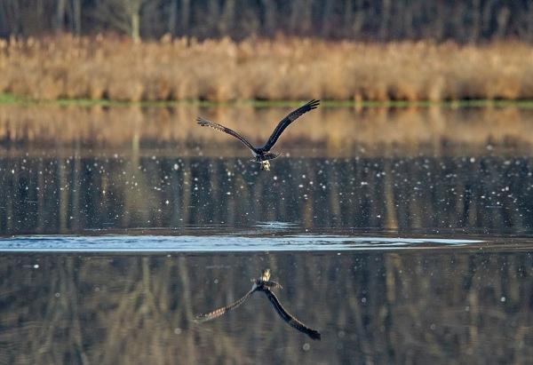 Osprey_Fishing_MG_1134