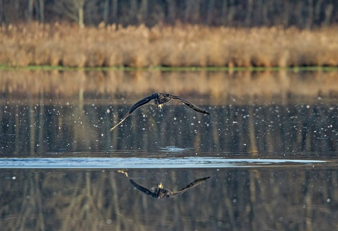 Osprey_Fishing_MG_1135