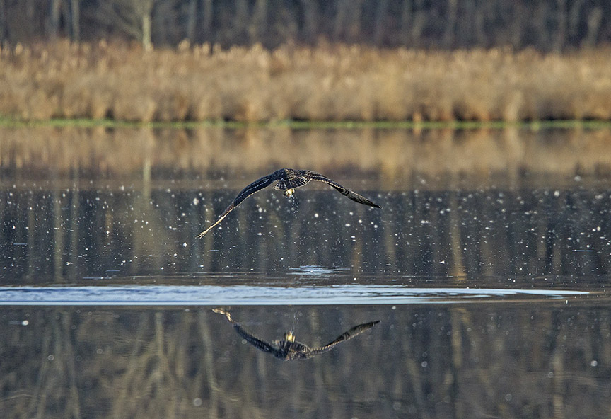 Osprey_Fishing_MG_1135