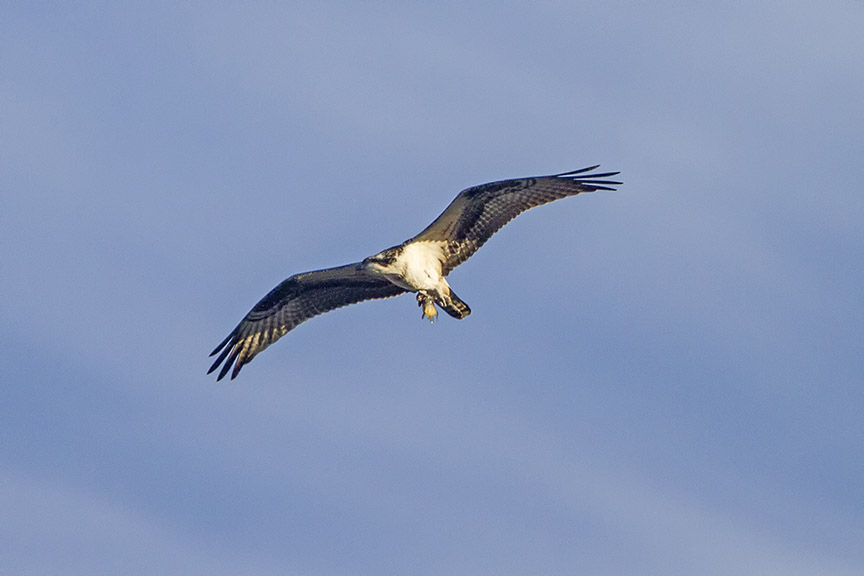 Osprey_Fishing_MG_1171