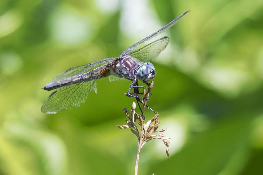 Blue_Dasher_Female v1_worn_Wings_43G0015