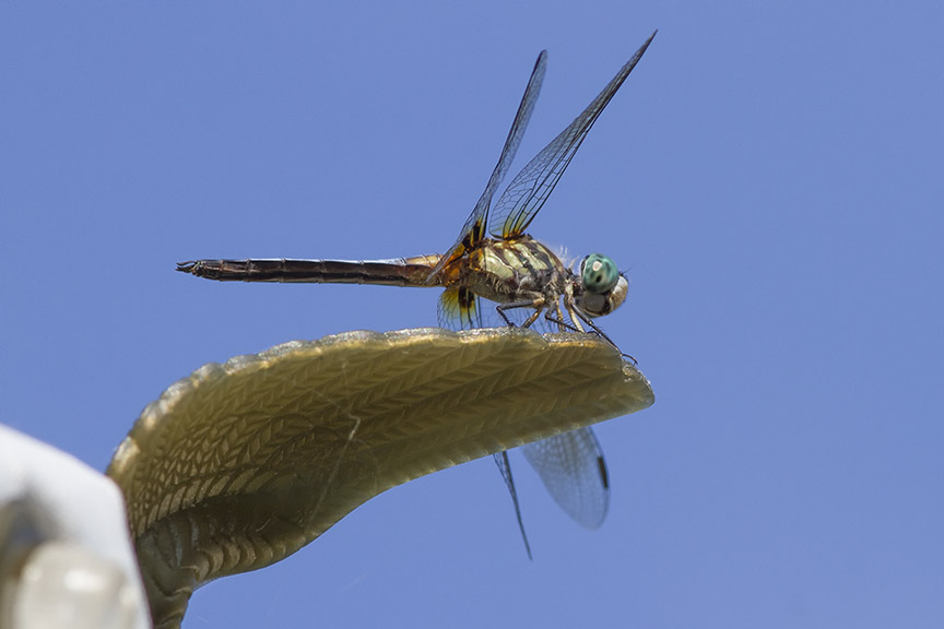 Blue_Dasher_v1_4th_July 7 18_MG_2128