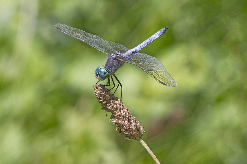 Blue_Dasher_v2_DM 7 18_43G0052