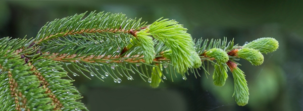Evergreen Pano 5 img_raindrops_v1 5_18