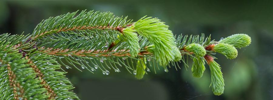 Evergreen Pano 5 img_raindrops_v1 5_18