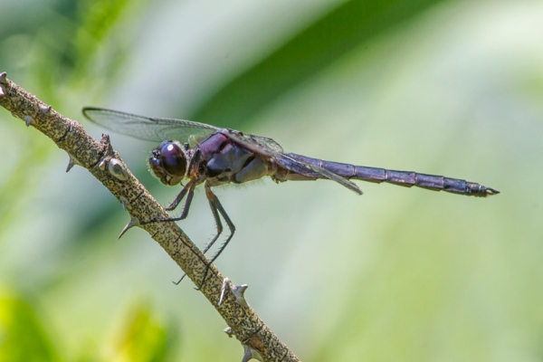 Slaty_Skimmer_v9_DM_960mm_MG_3912