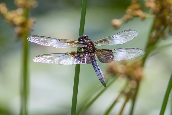 Widow_Skimmer Dragonfly_v2_MG_1704-2