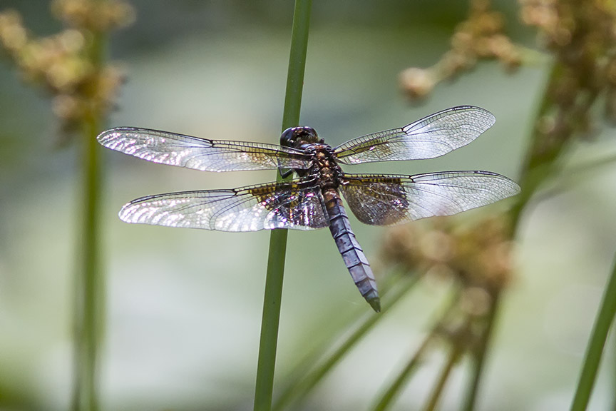 Widow_Skimmer Dragonfly_v2_MG_1704-2