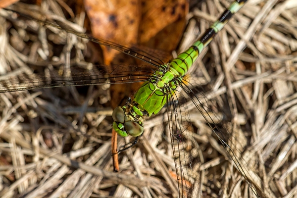 Eastern Pondhawk V1_MG_2625