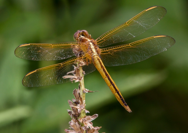 Golden-Winged_Skimmer_ v1_BWR _Dragonfly_v5_8_18