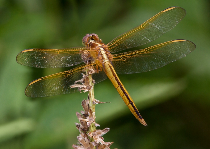 Golden-Winged_Skimmer_ v1_BWR _Dragonfly_v5_8_18
