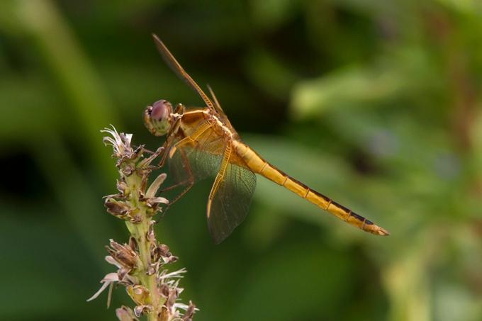 Golden_Winged_Skimmer_v2_BWR_8_18_MG_5623