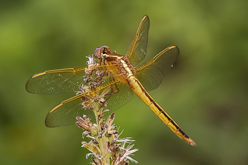 Golden_Winged_Skimmer_v2_BWR_MG_5607