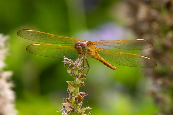 Golden_Winged_Skimmer_v2_MG_5637