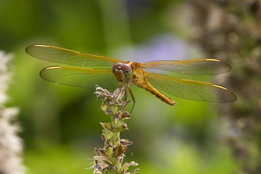 Golden_Winged_Skimmer_v2_MG_5637