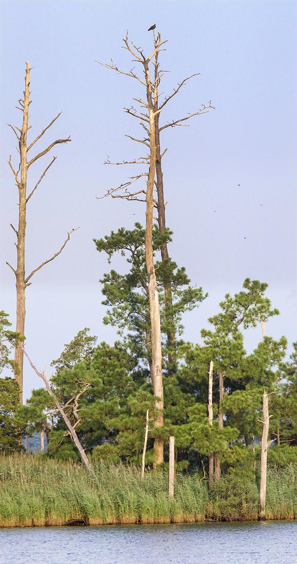 Osprey_TreeTop_4imgPano_v2_BWR_400mm_w1_4X