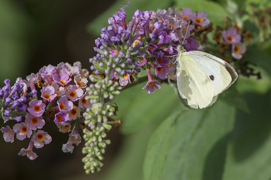 Cabbage_White_Butterfly_v3_DM_9_18_43G8035