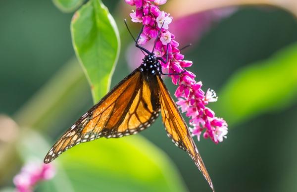 Monarch_v2_43G7762