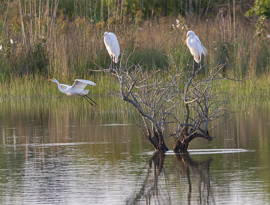 Egrets_v1_BWR