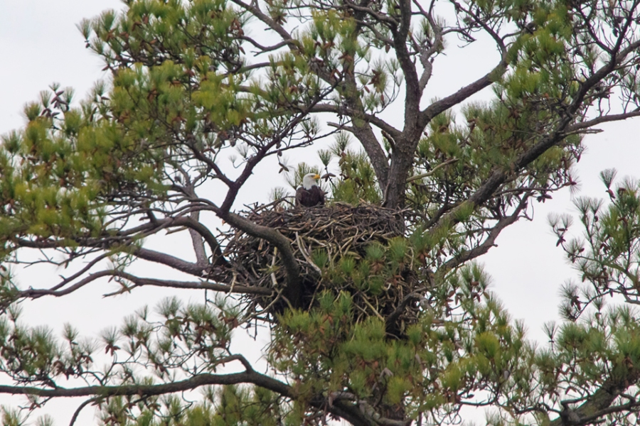 bald_eagle_nest_bwr_wd_400mm_v1_2x_v2