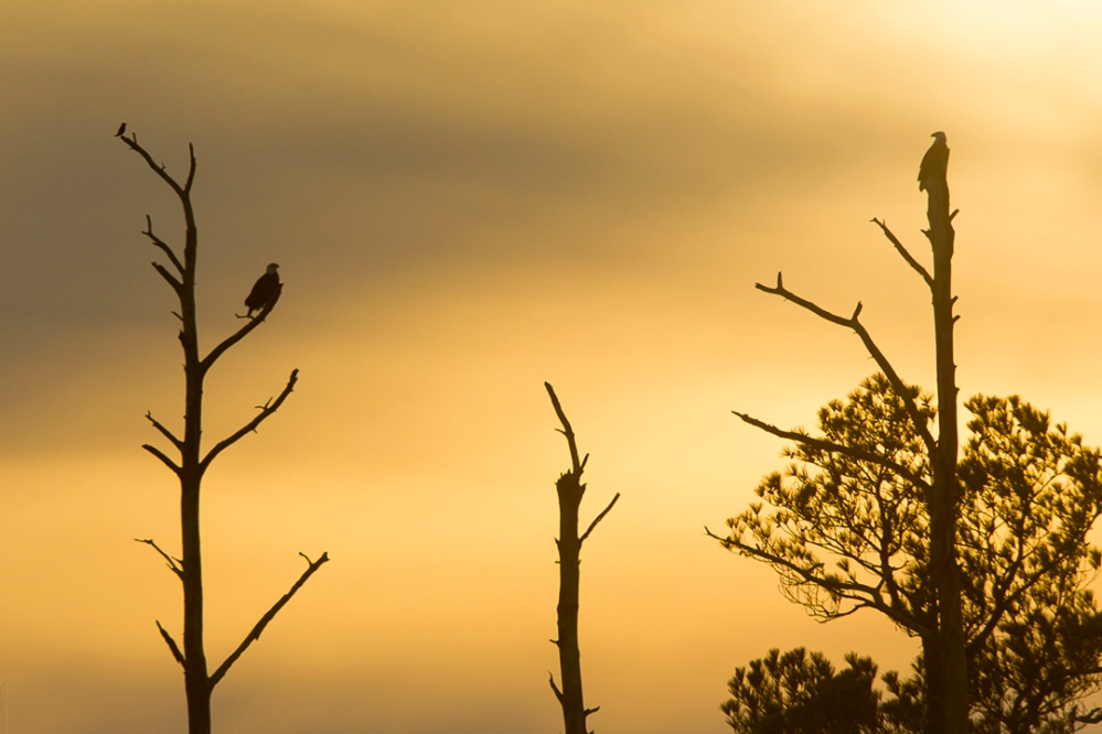 bald_eagle_pair_near_nest_728mm_43g2631