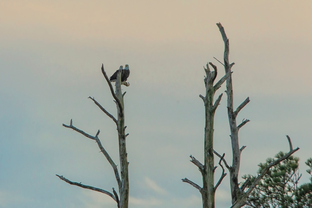 bald_eagles_pm_bwr_800mm_v1_43g2734-2