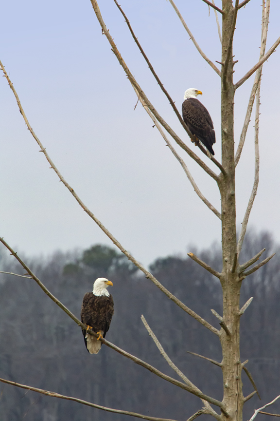 _eagles_tree_v2_bwr 12_18_400mm_1_4x_43g4213