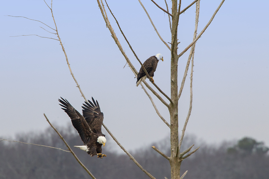 eagles_tree_v2_bwr_12_18_tc_43g4153