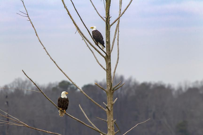 _eagles_v3_bwr_12_18_800mm_43g4182