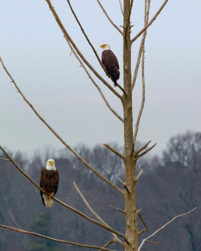 eagles_v4_bwr 12_18_400mm_1_4x__43g4290