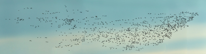snow_geese_bwr_12_18_5img_pano_43_728mm_v2
