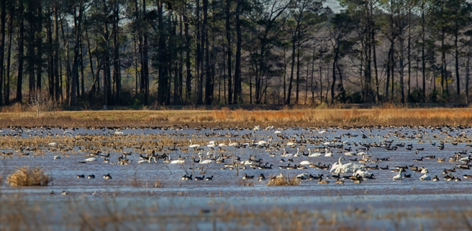 tundra_swans_can_geese_ducks_2_img_pano_bwr_12_18