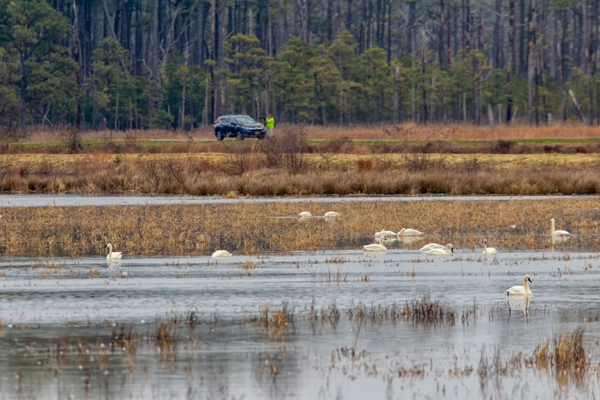tundra_swans_photg_dist_v1_400mm_tc_43g3629