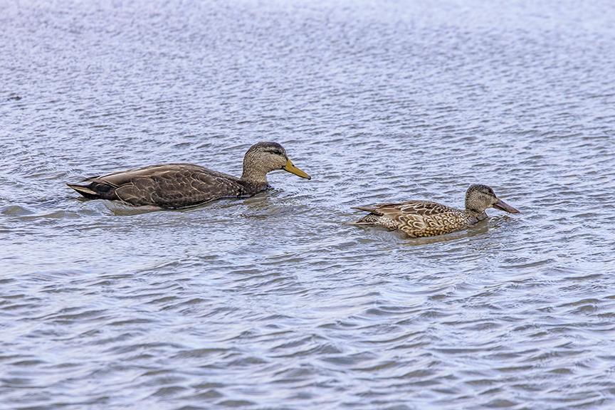 American_BLK_Duck_M_& Northern Shoveler_Fem_v2_76A0995