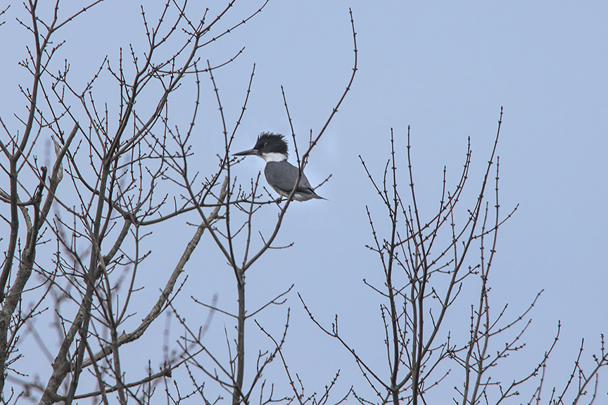Kingfisher_Tree_v4_Brig_2_19_76A0745