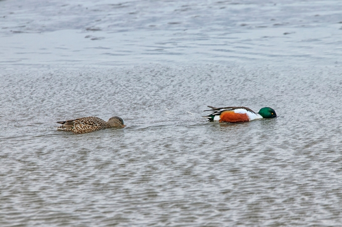 Northern_Shoveler_M&F_Feeding_v1_76A1022