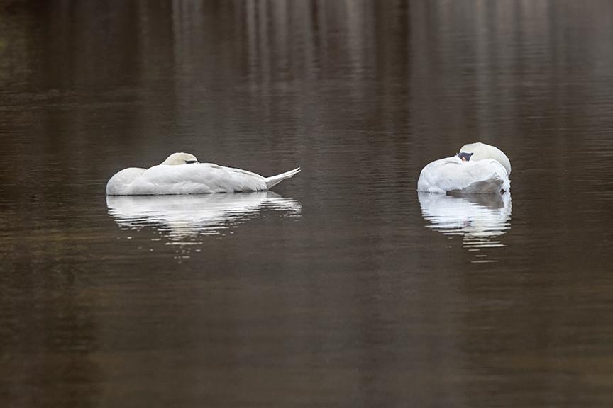 Sleeping_Mute_Swan_v5_Brig_2_18_76A0685