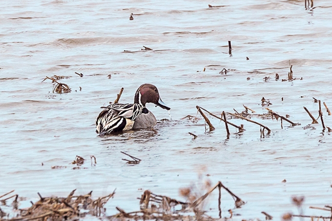 Northern_Pintail_Male_v3_Brig_2_19_76A2685