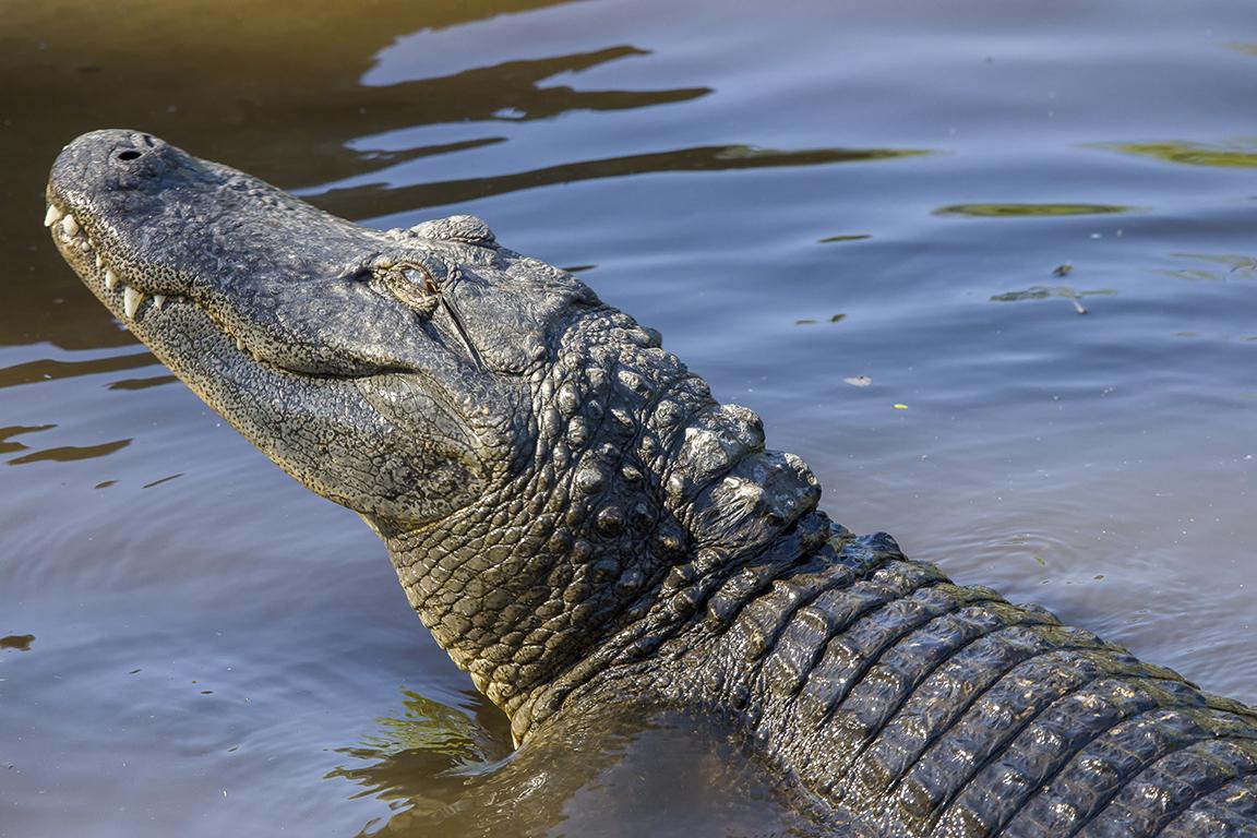 Alligators_protect_nest_v1_AF_4_19_450mm_076A9590