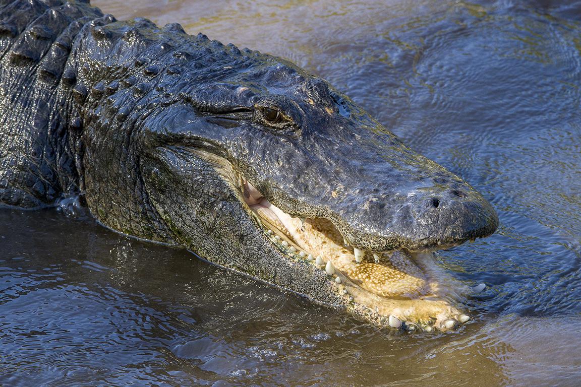 Alligators_protectors_v1_AF_4_19_400mm_076A9593