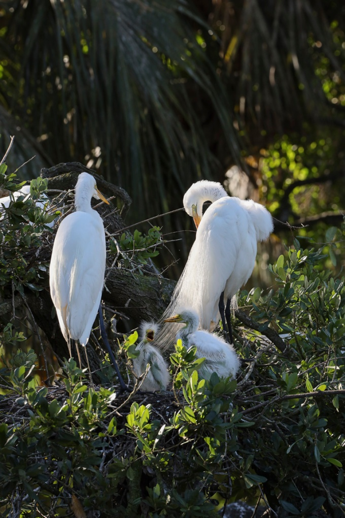 GREAT_EGRETS_NEST_CHICKS_329MM_076A0175-2