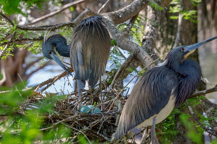 TriColor_Heron_Nest_eggs_v1_76A4497